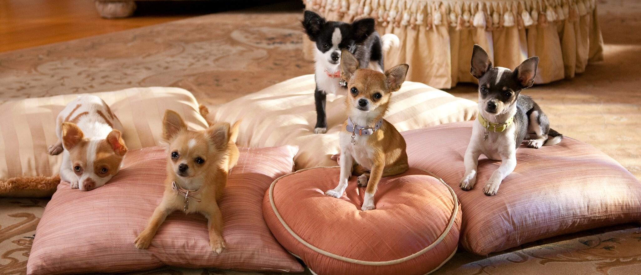 Beverly Hills Chihuahua 2 Hero