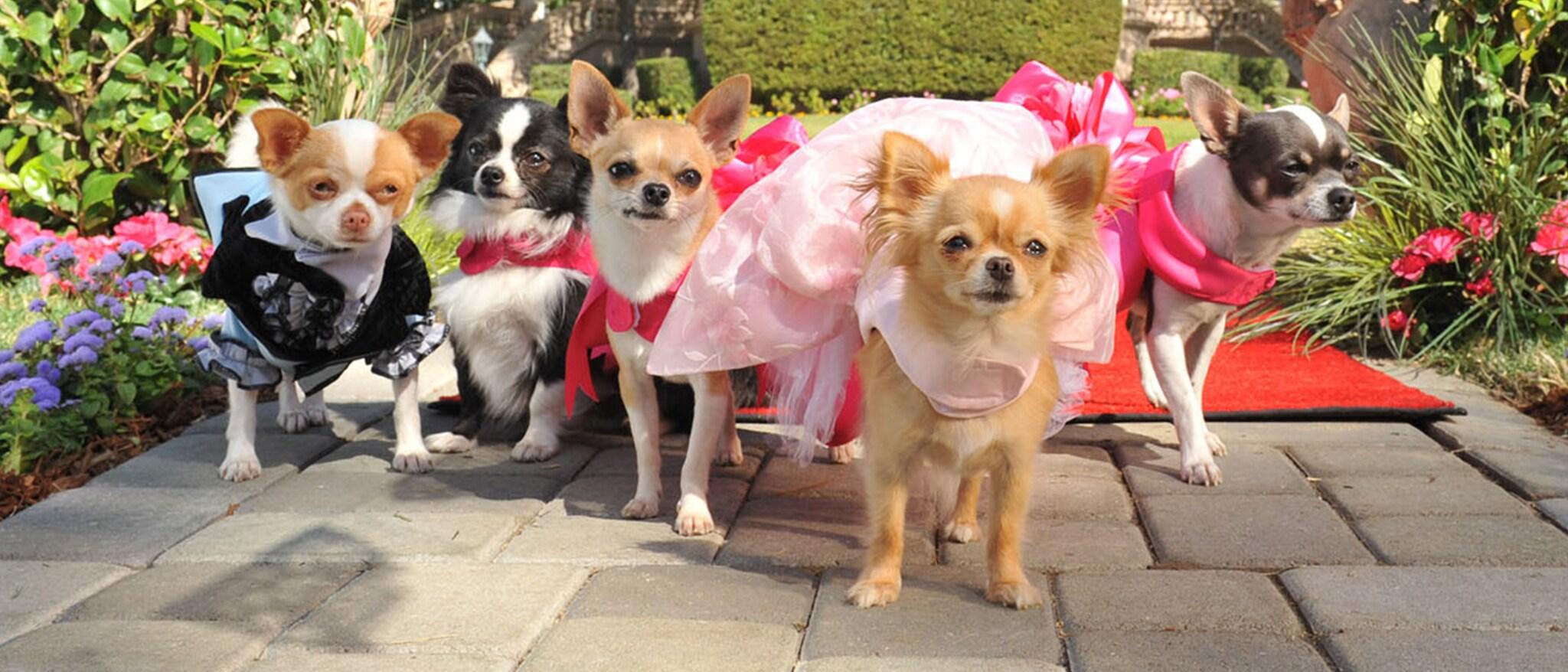 Beverly Hills Chihuahua 3: Viva La Fiesta! Hero
