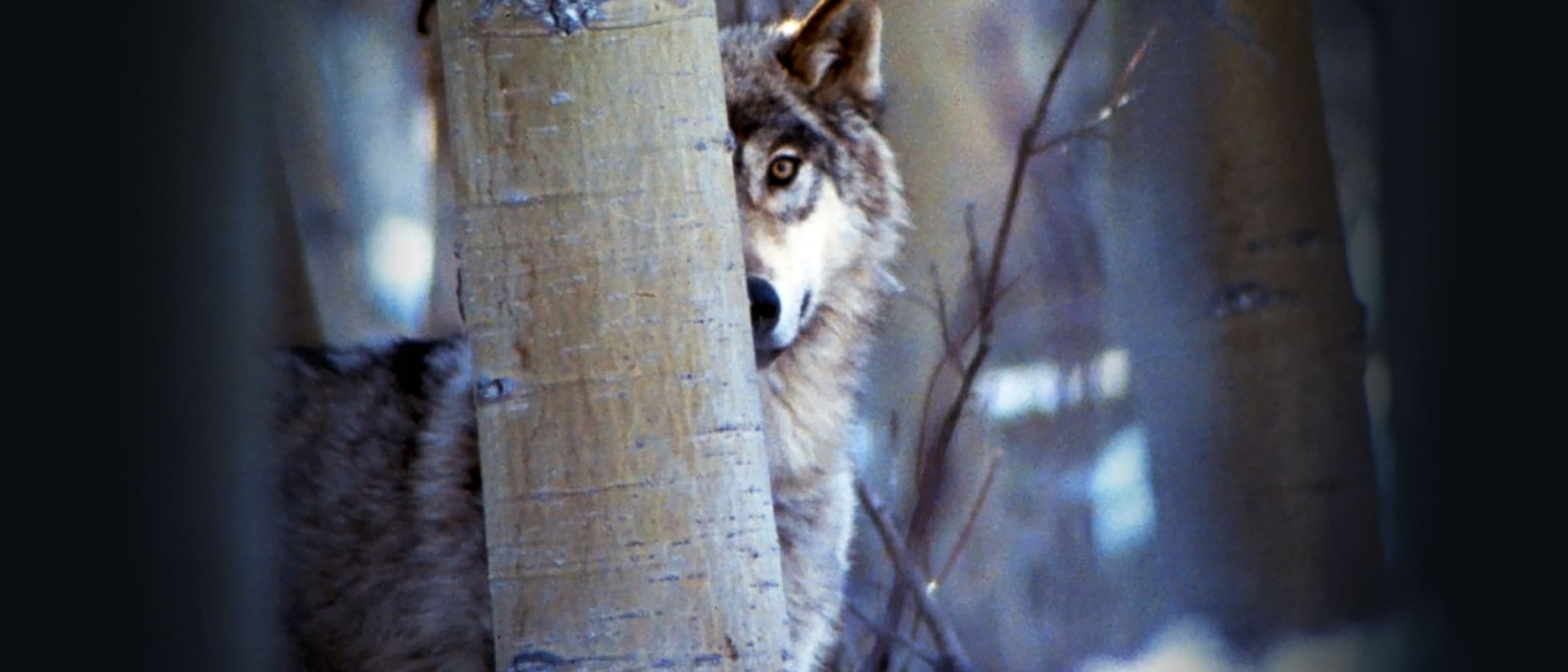 Never Cry Wolf Hero