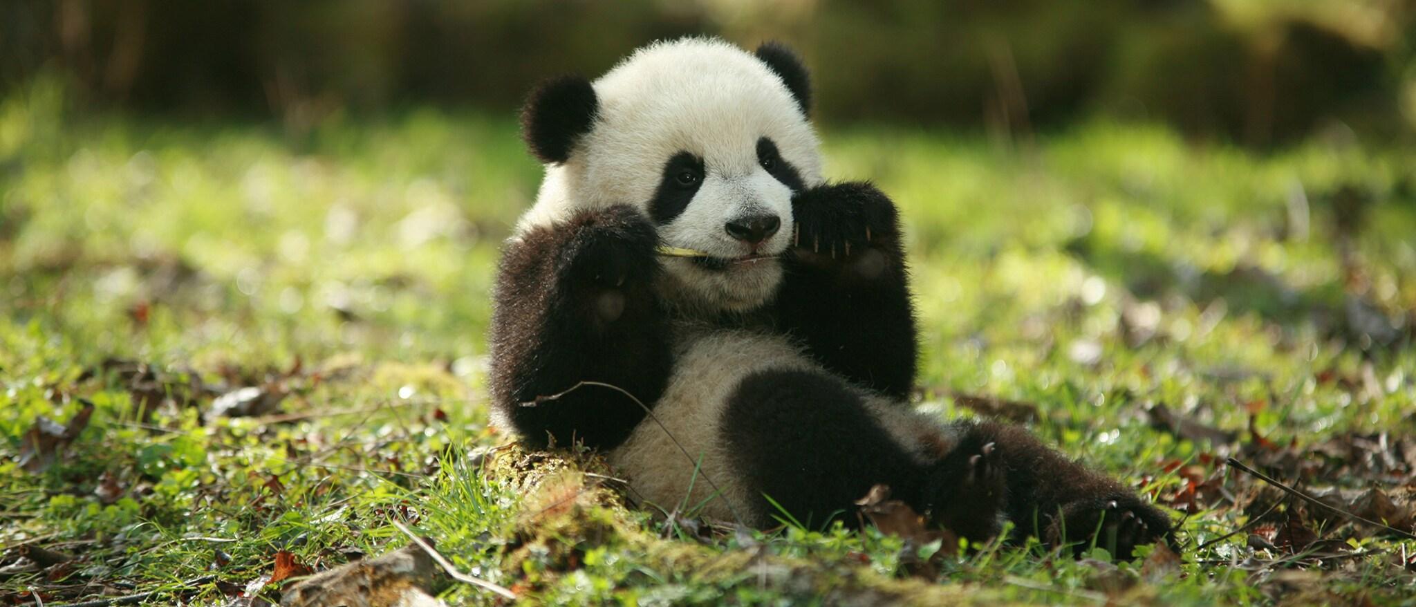 Trail of the Panda Hero