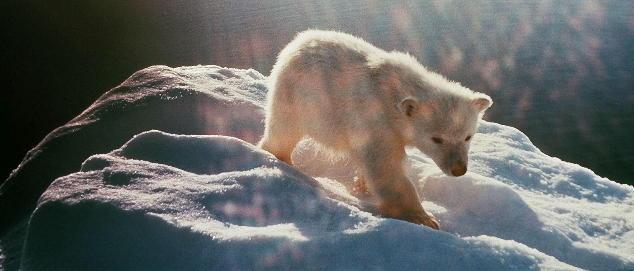 White Wilderness Hero