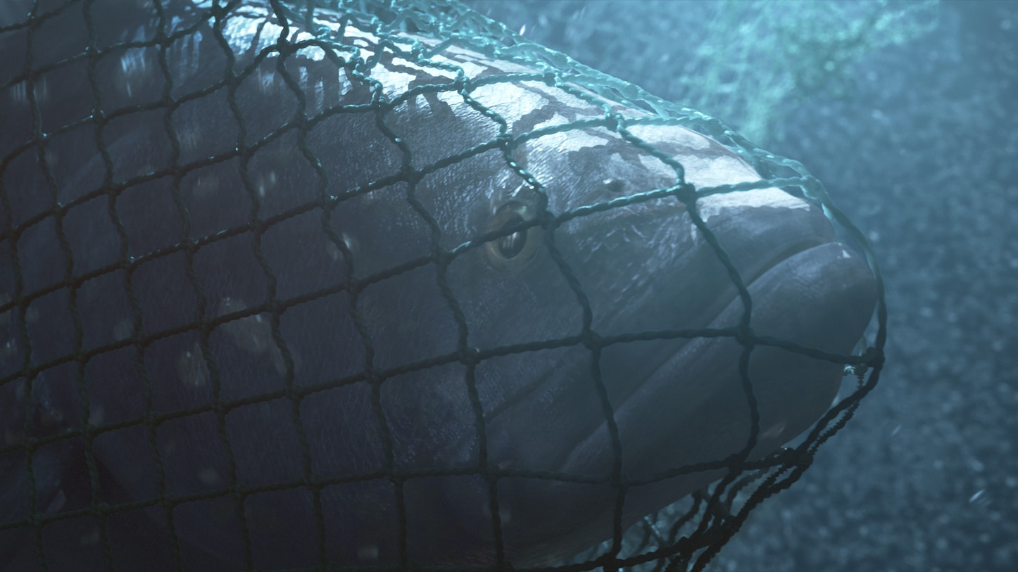 Totoaba caught a net (Photo by National Geographic)